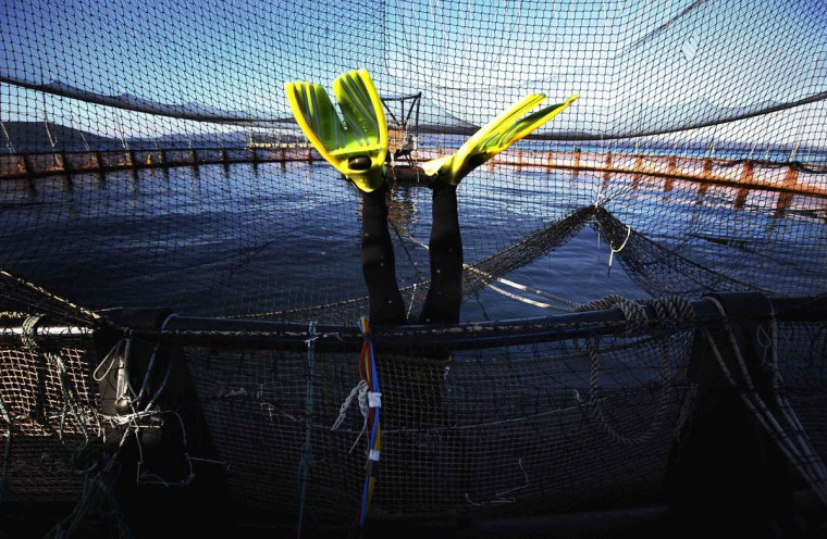 A diver leaps into a pond, which can hold up to 40,000 fish, during a daily inspection of the nets at a Tasmanian salmon farm owned by Huon Aquaculture Group Ltd located at Hideaway Bay, south of Hobart June 2, 2014. Huon Aquaculture Group Ltd, Australia's second-largest salmon farmer, said it plans to raise A$133 million ($117 million) in a sharemarket listing in a bid to boost its share of the country's fastest growing marine farming sector. The IPO makes Huon the southern state's - and Australia's - second listed salmon farmer after larger Tassal Group Ltd, which has been growing earnings since it decided to cut exports and focus on the strong domestic market. Picture taken June 2, 2014. To match story IPO-HUON/ (REUTERS/David Gray)