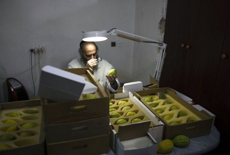 An ultra-Orthodox Jewish man checks etrogs, citrus fruits, for blemishes at a shop in Jerusalem's Mea Shearim neighbourhood October 7, 2014. Etrogs are used in rituals during the Jewish holiday of Sukkot, which begins at sundown Wednesday. (REUTERS/Ronen Zvulun)