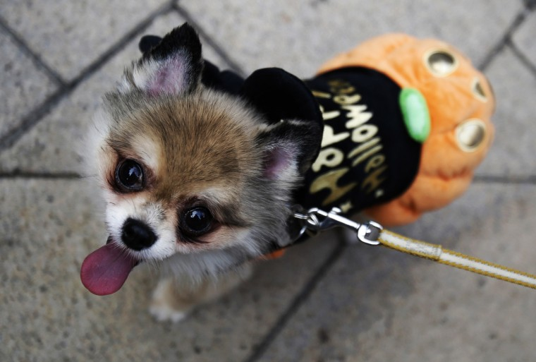 LOVE, a seven-year-old dog, is pictured in a Halloween outfit during a Halloween parade in Kawasaki, south of Tokyo, October 26, 2014. More than 100,000 spectators turned up to watch the parade, where 2,500 participants dressed up in costumes, according to the organizer. (Yuya Shino/Reuters)