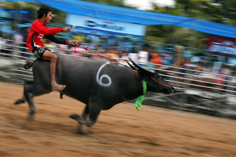 A jockey competes in Chonburi's annual buffalo race festival, east of Bangkok, October 7, 2014. The event, which also celebrates the rice harvest, dates back to the buffalo trade in Chonburi, once the commercial centre of Thailand's east. (REUTERS/Chaiwat Subprasom)