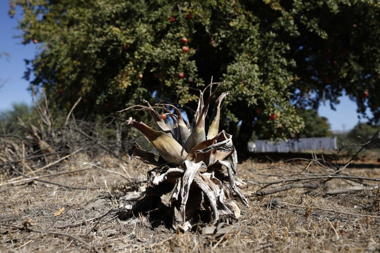 A parched yucca is seen in a garden in Porterville, California October 14, 2014. In one of the towns hardest hit by California's drought, the only way some residents can get water to flush the toilet is to drive to the fire station, hand-pump water into barrels and take it back home. The state's three-year drought comes into sharp focus in Tulare County, the dairy and citrus heart of the state's vast agricultural belt, where more than 500 wells have dried up. (Lucy Nicholson/Reuters)
