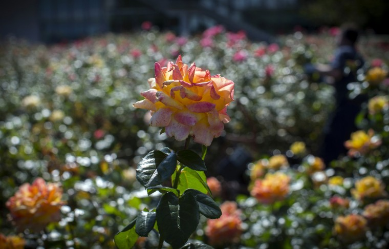 Roses bloom in the United Nations Rose Garden on a warm autumn day at U.N. headquarters in New York, October 8, 2014. (Mike Segar/Reuters)