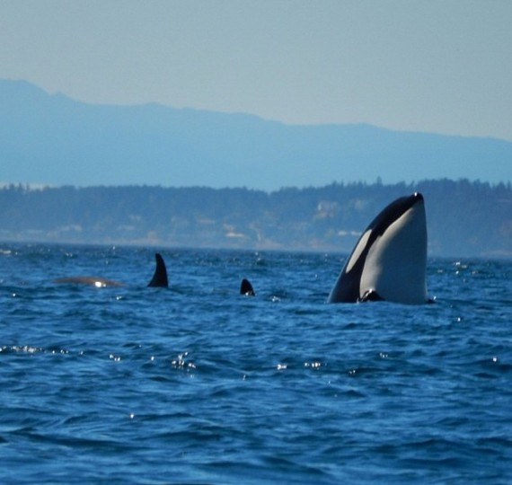 Day 2: The Encina Great Northwest adventure. Kayaking with the orcas off the coast of San Juan Island on July 30, 2014.