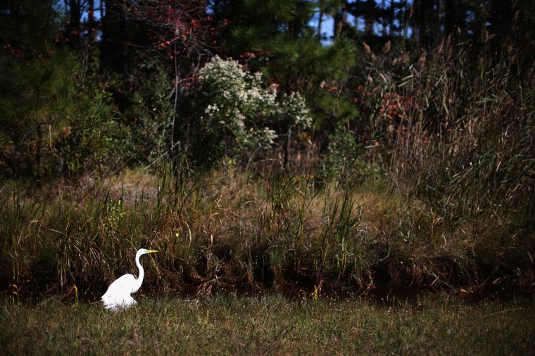 A Heron looks for food in a roadside drainage ditch that raises and lowers with the tide October 9, 2014 in Hoopers Island, Maryland. Several islands in the lower Chesapeake Bay region are slowly eroding away as sea levels rise. Officials have projected the sea level will rise several feet over the next century leaving many of the Chesapeake bay's lower islands underwater. (Photo by Mark Wilson/Getty Images)