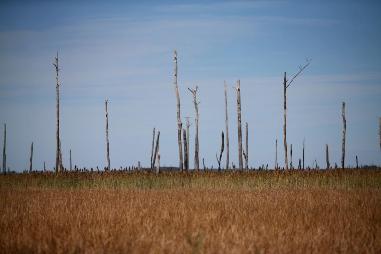 Dead trees stand in a marsh inside the Blackwater Wildlife RefugeOctober 9, 2014 in Robbins, Maryland. Several islands and property's located at sea level in the lower Chesapeake Bay region are slowly eroding away as sea levels rise. Officials have projected the sea level will rise several feet over the next century leaving many of the Chesapeake bay's lower islands underwater. (Photo by Mark Wilson/Getty Images)