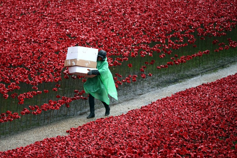 A volunteer begins removing 888,246 hand-made poppies, representing each of the commonwealth servicemen and women killed in the first world war at Tower of London on November 12, 2014 in London, England. Around five million people are thought to have visited the artwork entitled 'Blood-Swept Lands and Seas of Red' by artist Paul Cummins and Tom Piper and removal is estimated to take 8,000 volunteers around two weeks. (Photo by Carl Court/Getty Images)