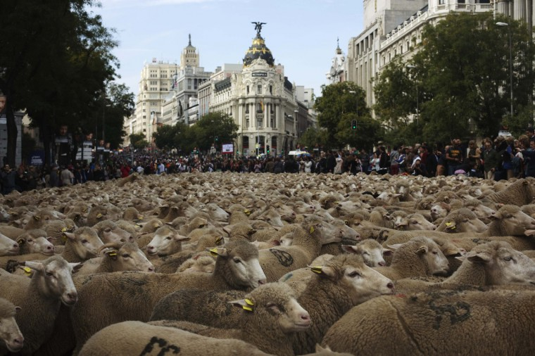 Sheep are herded during the annual sheep parade through Madrid. Shepherds parade the sheep through the city every year in order to exercise their right to use traditional routes to migrate their livestock from northern Spain to winter grazing pasture land in southern Spain. (Susana Vera/Reuters)
