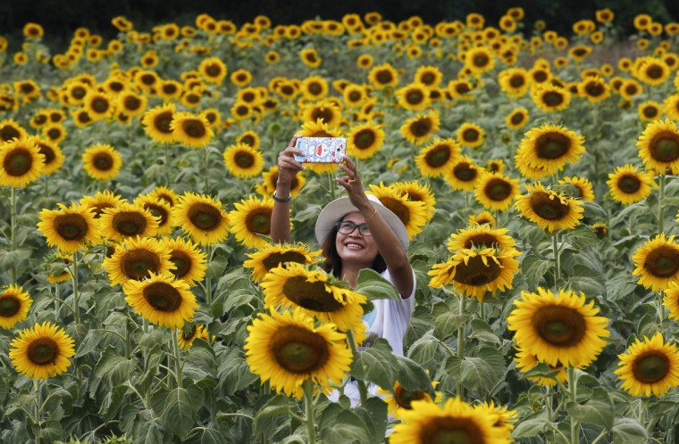 "A woman takes a ""selfie"" at a sunflower field in Lopburi province, north of Bangkok. (Chaiwat Subprasom/Reuters)"