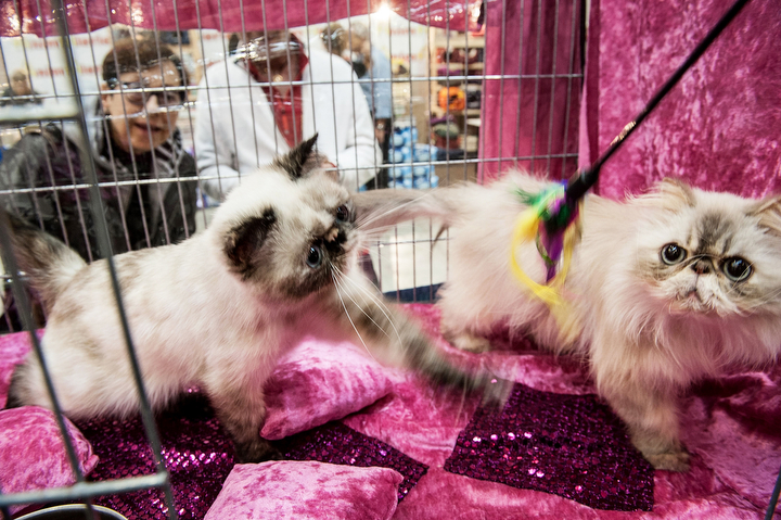 Cats play as they are kept in a cage during the first day of the Super Cat Show 2014 in Rome, Italy. The Super Cat Show 2014, which takes place on the 8th and 9th of November, involves the participation of 800 cats of different breeds from all over the world. (Photo by Giorgio Cosulich/Getty Images)