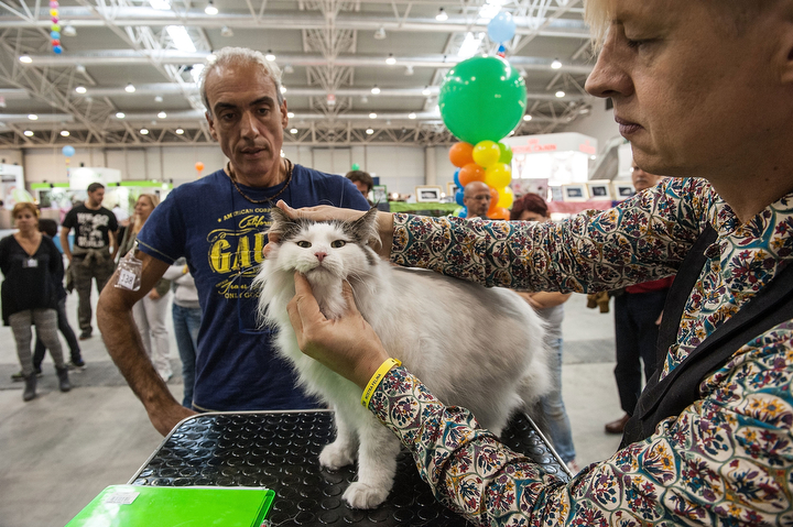 A cat is examined by the jury during the first day of the Super Cat Show 2014 in Rome, Italy. The Super Cat Show 2014, which takes place on the 8th and 9th of November, involves the participation of 800 cats of different breeds from all over the world. (Giorgio Cosulich/Getty Images)