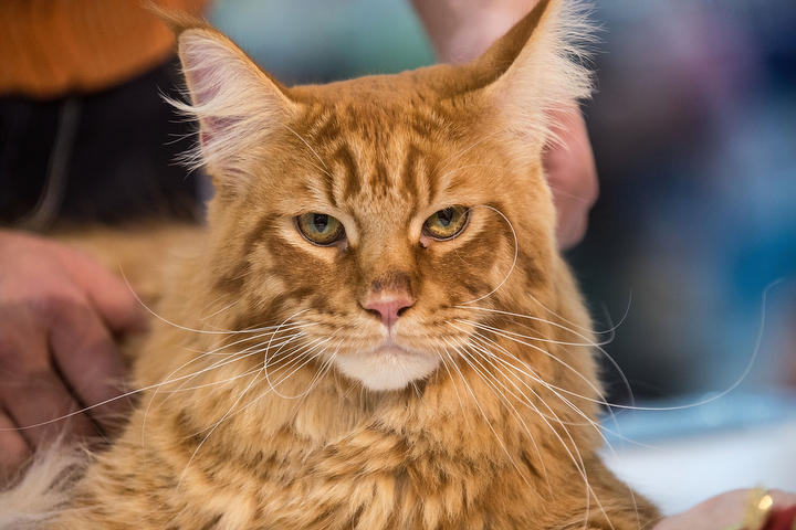 A cat waits to be examined by the jury during the first day of the Super Cat Show 2014 in Rome, Italy. The Super Cat Show 2014, which takes place on the 8th and 9th of November, involves the participation of 800 cats of different breeds from all over the world. (Giorgio Cosulich/Getty Images)