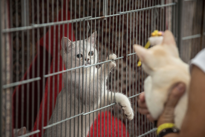 A cat is kept in a cage during the first day of the Super Cat Show 2014 in Rome, Italy. The Super Cat Show 2014, which takes place on the 8th and 9th of November, involves the participation of 800 cats of different breeds from all over the world. (Giorgio Cosulich/Getty Images)
