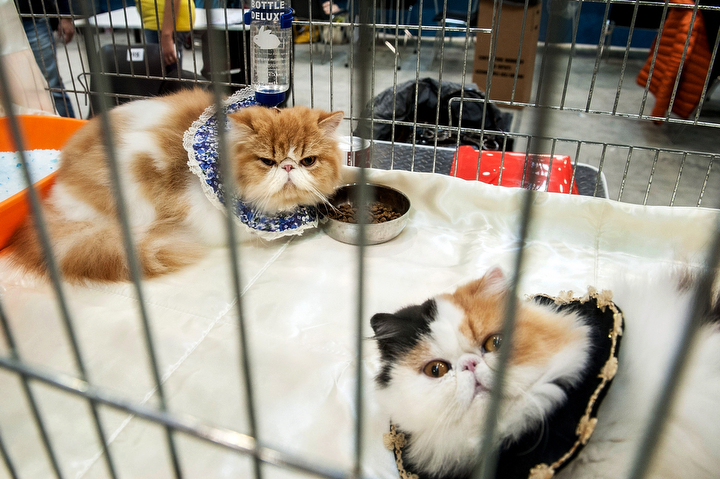 Cats are kept in a cage during the first day of the Super Cat Show 2014 in Rome, Italy. The Super Cat Show 2014, which takes place on the 8th and 9th of November, involves the participation of 800 cats of different breeds from all over the world. (Giorgio Cosulich/Getty Images)
