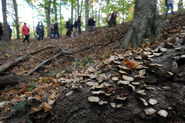 Stereum ostrea grows on a fallen red oak. The Natural History Society of Maryland has a meetup lead by biologist Nick Spero searching for mushrooms in Herring Run Park. (Kim Hairston/Baltimore Sun)