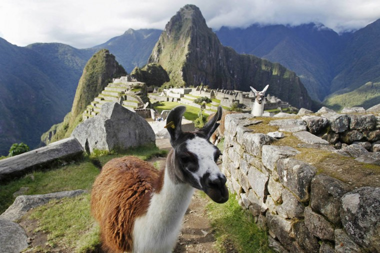 Llamas are seen in front of the Inca citadel of Machu Picchu in Cusco December 2, 2014. Machu Picchu, a UNESCO World Heritage Site, is Peru's top tourist attraction, with the government limiting tourists to 2,500 per day due to safety reasons and concerns over the preservation of the ruins. (Enrique Castro-Mendivil/Reuters photo)