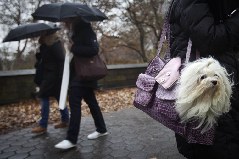 Emma the Maltese's fur blows in the wind as she rides in her owner's purse on 5th Avenue at Central Park in New York. (Carlo Allegri/Reuters photo)