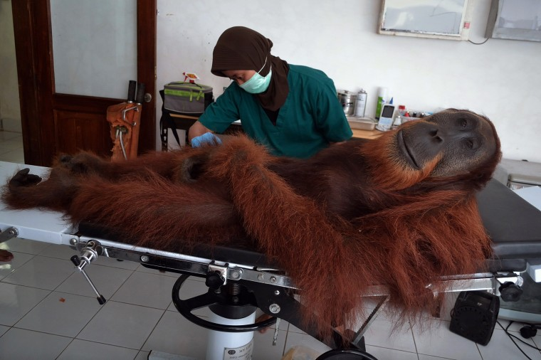 In this photograph taken on April 16, 2014, a veterinary staff member of the Sumatran Orangutan Conservation Programme center conducts medical examinations on a 14-year-old male orangutan found with air gun metal pellets embedded in his body in Sibolangit district in northern Sumatra island. The orangutan was rescued by Indonesia's ministry of forestry personnel and Orangutan Information Center on April 15, 2014 in nearby Langkat district in a small patch of forest and agricultural plantation. The center has cared for over 280 orangutans rescued from palm oil plantations, poachers and pet owners and over 200 have been reintroduced in the wilds. The critically-endangered primates population are dwindling rapidly due to poaching and rapid destruction of their forest habital that is being converted into palm oil plantation. SUTANTA ADITYA/AFP/Getty Images