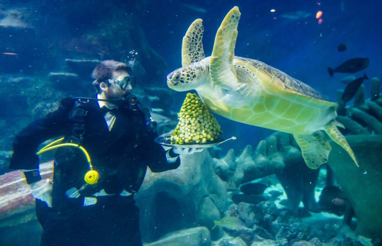 Senior Aquarist Charles-Edouard Fusari feeds a Green Sea Turtle Greedy Boris with sprouts at The Sea Life London Aquarium on December 15, 2014 in London, England. (Ian Gavan/Getty Images)
