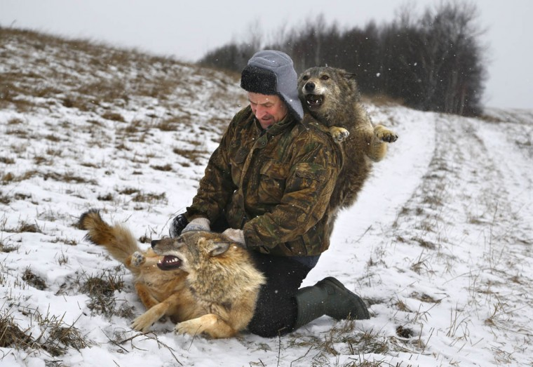 Belarusian Sergei Selekh plays with his 6-month-old tamed wolves on the outskirts of the village of Gaina, 45 kilometers (28 miles) north of Belarus capital Minsk, Wednesday, Dec. 31, 2014. Selekh owns a farmstead, where sheep, wolves and an ethnographic museum serve as entertainment for guests. (Sergei Grits/AP photo)