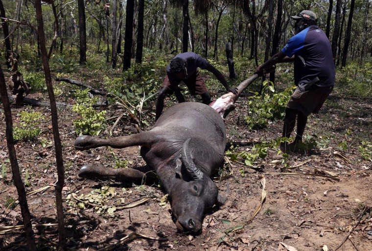 Australian Aboriginal Norman Daymirringu (R) and friend James Gengi of the Yolngu people cut off the leg of a buffalo for food after they discovered it dead on the side of a dirt track on the outskirts of Ramingining in East Arnhem Land. (David Gray/Reuters)
