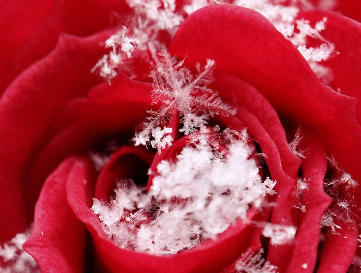 Snowflakes gather on a late blossoming rose in Vienna December 29, 2014. (Heinz-Peter Bader/Reuters)