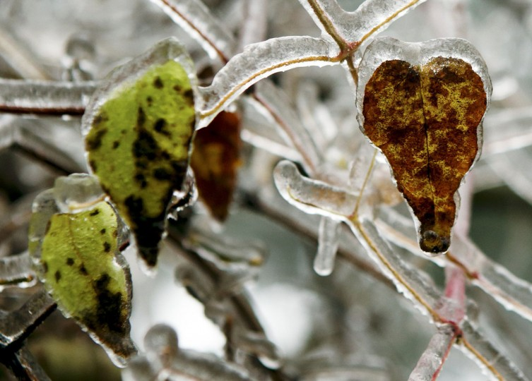 Ice covered leafs are pictured on a tree near Amstall in northern Austria, December 2, 2014. Freezing fog and rain covered parts of the region with ice, causing blocked roads due to fallen trees and closed schools for security reasons, local media report. (REUTERS/Heinz-Peter Bader)