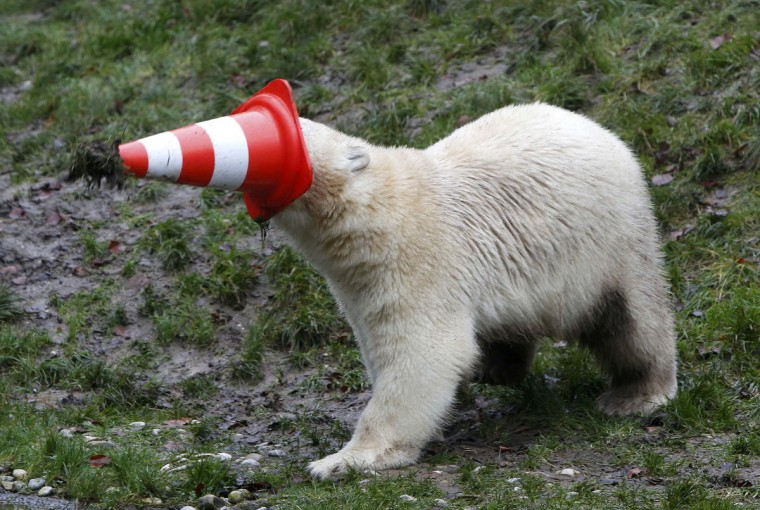 A polar bear plays with a pylon during celebrations marking its first birthday in an enclosure at Tierpark Hellabrunn zoo in Munich December 9, 2014. (Michaela Rehle/Reuters)
