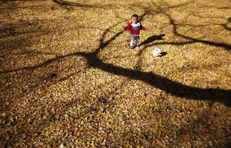 A child plays among ginkgo leaves at Yoyogi park, after a winter storm swept through the capital, in Tokyo December 17, 2014. A rapidly-strengthening winter storm slammed Japan's northernmost main island of Hokkaido and a wide swathe of the nation with typhoon-strength winds and heavy snow on Wednesday, snarling rail transport and forcing the cancellation of more than 100 flights. REUTERS/Issei Kato