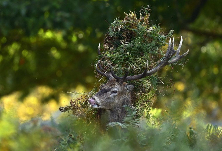 A male red deer with antlers covered in bracken, walks through undergrowth in Richmond Park in south west London, in this October 3, 2014 file photo. Although Richmond Park is only 3.69 square miles (9.56 square kilometres) wide and 650 deer graze there during the autumn deer rutting season, I spent nine hours on foot with my 500mm lens as well as shorter optics following the haunting and spine tingling barking of the male deer. Trying to find strong images of animal behaviour combined with attractive light and backgrounds. The mist had long gone and the sun was dipping lower to the horizon when I found the male in the photograph in the undergrowth. I had followed him for roughly an hour before this frame, and an hour afterwards, hoping he would either get an even more impressive head-dress, pick a battle with another male or chase some potential mating partners...but eventually the light went and so did I shortly after. I think the bracken stuck amongst the deer antlers gives the picture a certain appeal by adding a little humour to a natural history photograph, with a hat-like appearance, plus the tongue out looks a little as if the deer is licking his lips! - Toby Melville