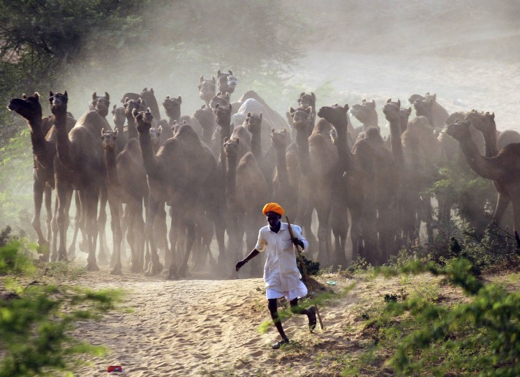 A camel herder walks his camels at Pushkar Fair in the desert Indian state of Rajasthan in this October 28, 2014 file photo. REUTERS/Himanshu Sharma/Files