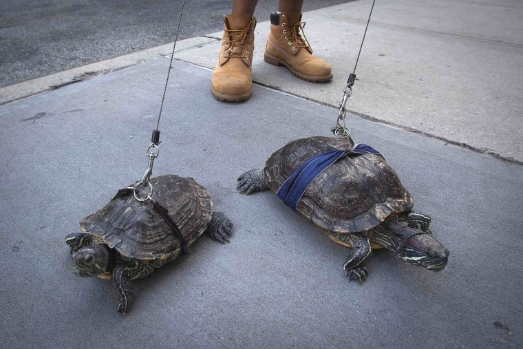 Resident Chris Roland walks his pet turtles Cindy (L) and Kuka up Madison Avenue in the Upper East Side of the Manhattan borough of New York in this September 4, 2014 file photo. REUTERS/Carlo Allegri/Files