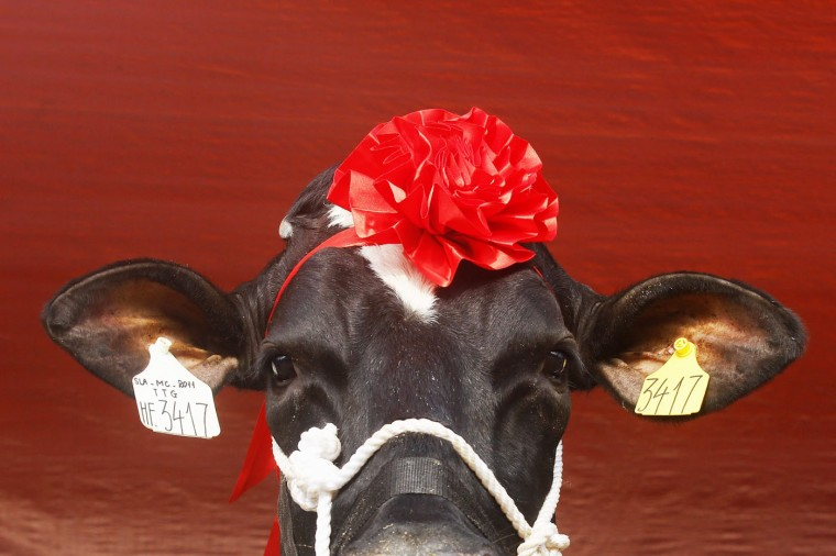A cow is prepared for the Miss Milk Cow beauty contest in Moc Chau plateau, 200 km northwest of Hanoi in this October 15, 2014 file photo. REUTERS/Kham/Files