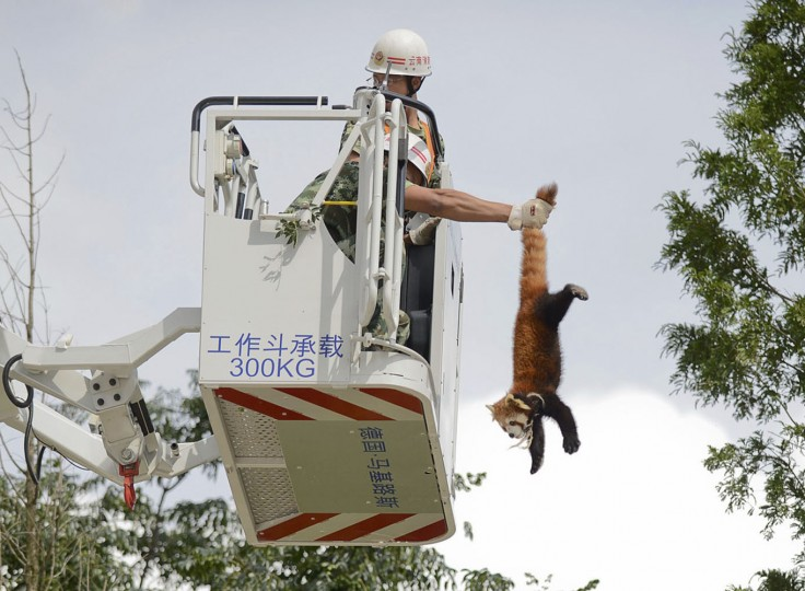 A firefighter holds a red panda (Ailurus fulgens) from its tail while removing it from a tree at a residential area in Kunming, Yunnan province, in this July 3, 2014 file photo. REUTERS/Stringer/Files
