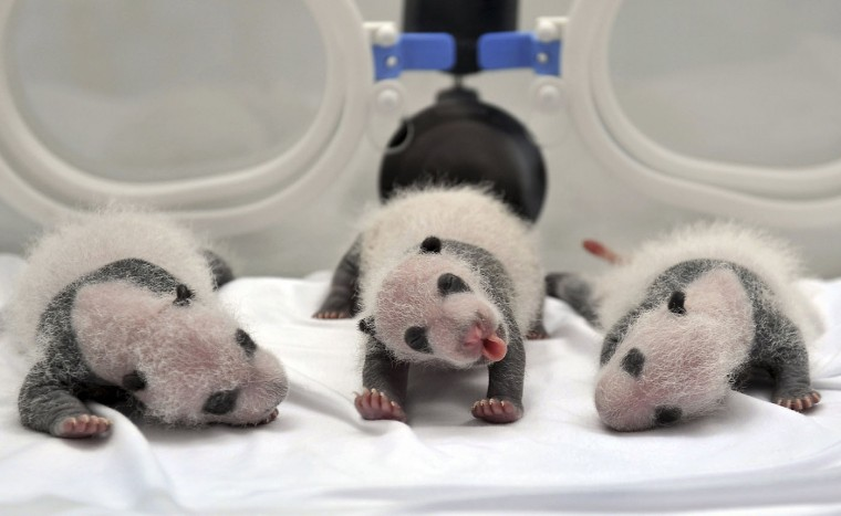 Newborn giant panda triplets, which were born to giant panda Juxiao (not pictured), are seen inside an incubator at the Chimelong Safari Park in Guangzhou, Guangdong province in this August 17, 2014 file photo. REUTERS/Stringer/Files