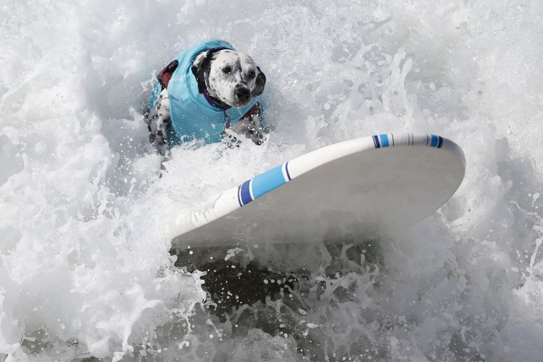 A dog surfs at the 6th Annual Surf City surf dog contest in Huntington Beach, California in this September 28, 2014 file photo. REUTERS/Lucy Nicholson/Files