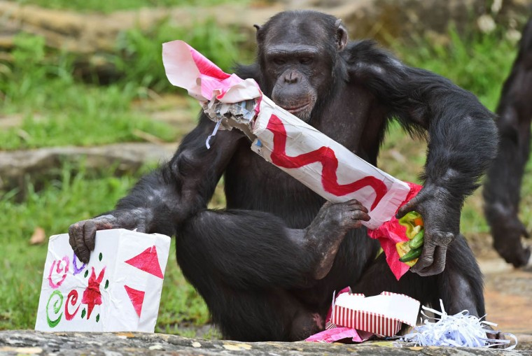 A Taronga Zoo chimpanzee gathers some Christmas presents after some gift-wrapped food treats and other tasty decorations were left inside the exhibit in Sydney. The chimpanzees were quick to pounce on the festive-themed enrichment items prepared by keepers, showing off their natural foraging skills to uncover the food inside while some seemed just as happy playing with the cardboard box packaging. (William West/Getty Images)