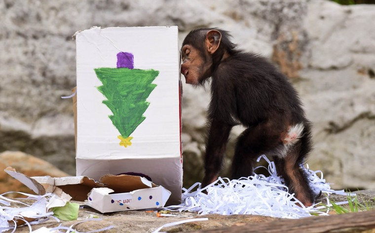 "Taronga Zoo's 15-month-old chimpanzee ""Fumo"" opens one of his Christmas presents after the chimps at the exhibit discovered some gift-wrapped food treats and other tasty decorations in Sydney. The chimpanzees were quick to pounce on the festive-themed enrichment items prepared by keepers, showing off their natural foraging skills to uncover the food inside while some seemed just as happy playing with the cardboard box packaging. (William West/Getty Images)"