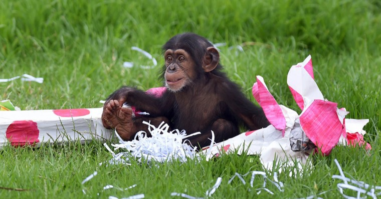 "Taronga Zoo's 15-month-old chimpanzee ""Fumo"" plays with one of his Christmas presents after the chimps at the exhibit discovered some gift-wrapped food treats and other tasty decorations in Sydney. The chimpanzees were quick to pounce on the festive-themed enrichment items prepared by keepers, showing off their natural foraging skills to uncover the food inside while some seemed just as happy playing with the cardboard box packaging. (William WEST/Getty Images)"