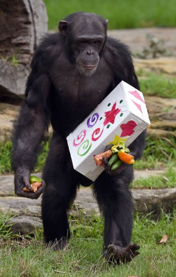A Taronga Zoo chimpanzee walks with a Christmas present after some gift-wrapped food treats and other tasty decorations were left inside the exhibit in Sydney. The chimpanzees were quick to pounce on the festive-themed enrichment items prepared by keepers, showing off their natural foraging skills to uncover the food inside while some seemed just as happy playing with the cardboard box packaging. (William West/Getty Images)