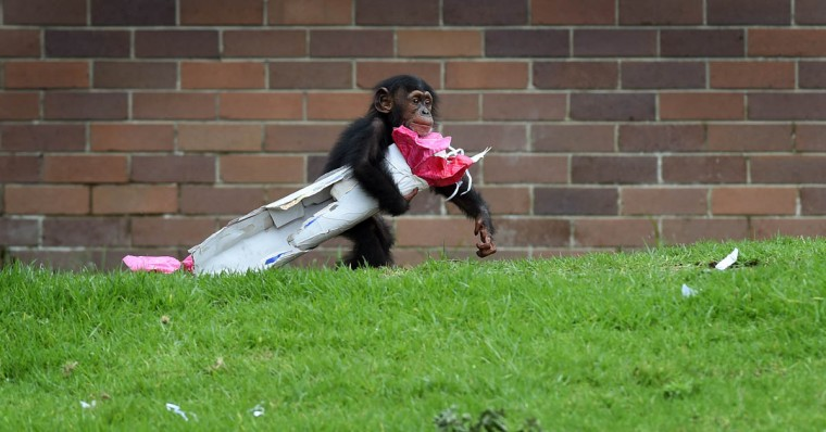 "Taronga Zoo's 15-month-old chimpanzee ""Fumo"" leaps off a log while carrying one of his Christmas presents after the chimps at the exhibit discovered some gift-wrapped food treats and other tasty decorations in Sydney. The chimpanzees were quick to pounce on the festive-themed enrichment items prepared by keepers, showing off their natural foraging skills to uncover the food inside while some seemed just as happy playing with the cardboard box packaging. (William West/Getty Images)"