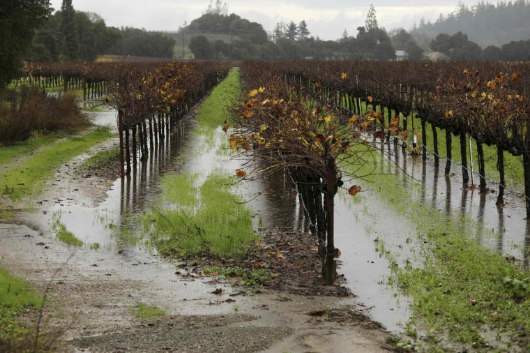 A vineyard is shown partially submerged in water in Healdsburg, California December 12, 2014. (Robert Galbraith/Reuters photo)