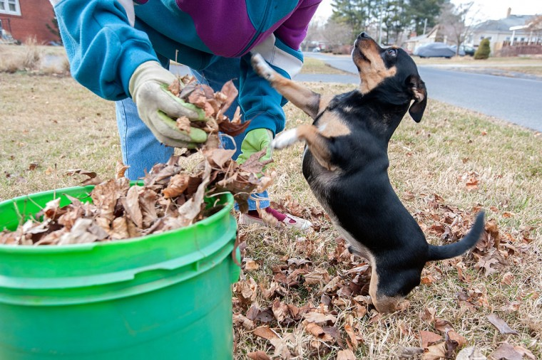 Chasie tries to play with his owner, Juanita Fansler, while she gathers leaves at her Bridgewater, Va., home Tuesday, Jan 20, 2014. (AP Photo/The Daily News-Record, Nikki Fox)