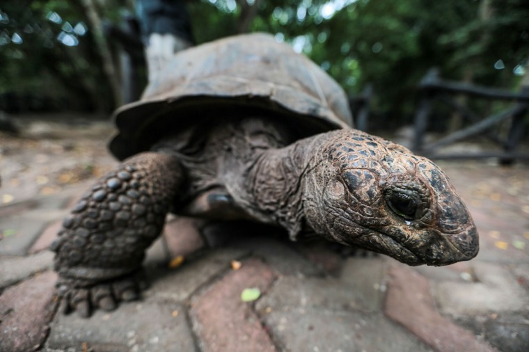 An Aldabra giant tortoise walks at a conservation compound on Changuu Island, northwest of Zanzibar, Tanzania, on Wednesday, Jan. 21, 2015. The endangered species, some of which live longer than 100 years old, continues to be brought to the island for protection from theft and better breeding. (AP Photo/Mosa'ab Elshamy)
