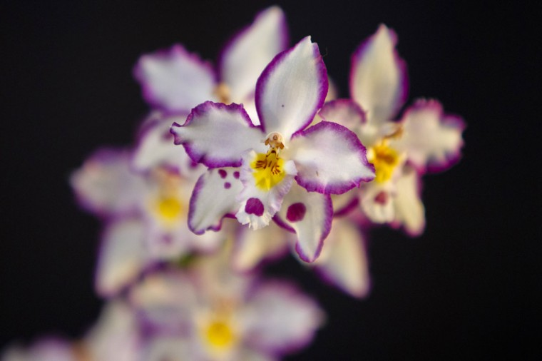 A detail shot of a Onc. Opalescent orchids during the orchid show at Frederik Meijer Gardens & Sculpture Park, Grand Rapids, Mich., Saturday, Jan. 24, 2015. (AP Photo/The Grand Rapids Press, Joel Bissell)