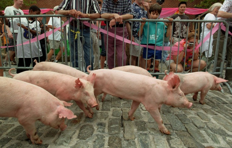 "9/14/02: Eight ten-week-old pigs (six are visible) from Porky Pines Farm, Clarksburg, MD, make their way across the cobblestones of the 800 block of McHenry St. for the ""Running of the Pigs!"" This is one of the events for The 1st Annual Pigtown Festival. (Kim Hairston/Baltimore Sun)"