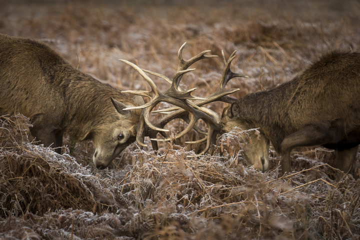 Deer rut in the early morning frost in Richmond Park in London, England. A forecasted cold weather front is due to bring sleet and snow to parts of the capital. (Rob Stothard/Getty Images)