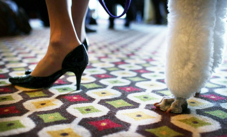 A standard poodle named Gem stands with his owner at a news conference for the 135th annual Westminster Kennel Club Dog Show on February 10, 2011 in New York City. (Photo by Spencer Platt/Getty Images)