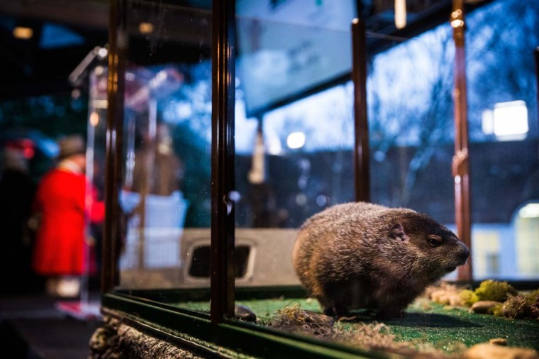 Staten Island Chuck, a groundhog who, according to tradition, looks for his shadow to predict whether or not the region will experience six more weeks of winter or the coming of spring, looks on at the Staten Island Zoo on February 2, 2015 in the Staten Island borough of New York City. The annual event caused controversy last year after Mayor de Blasio was handed the groundhog and dropped him and the animal died days later. This year the Mayor did not touch the animal and the groundhog did not see his shadow, signaling the coming of spring. (Andrew Burton/Getty Images)