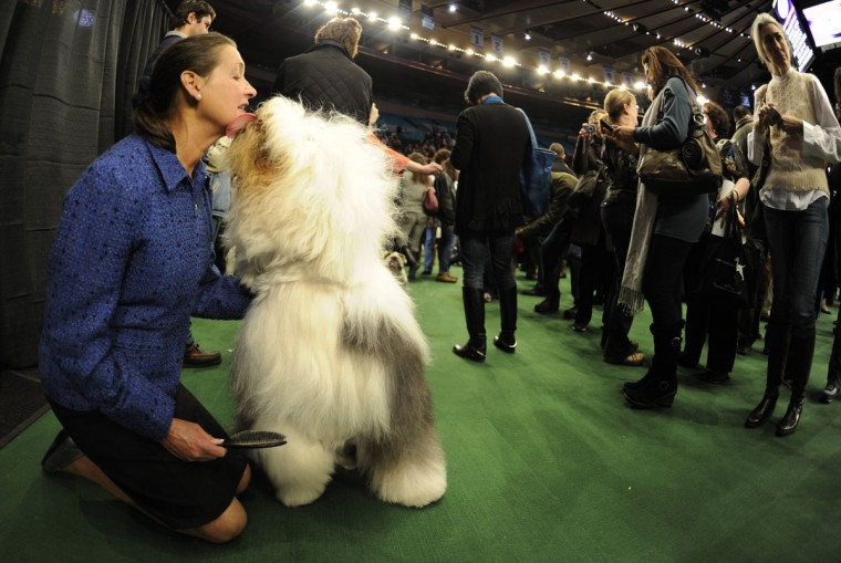 Handler Chris Pesche and Nikki the English Sheepdog during the 136th Westminster Kennel Club Annual Dog Show held at Madison Square Garden. February 13, 2012. (Timothy A. Clary/AFP/Getty Images)