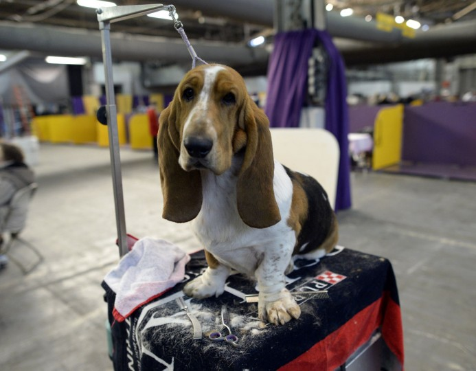 A Basset Hound waits in the benching area at Pier 92 and 94 in New York City for the first day of competition at the 138th Annual Westminster Kennel Club Dog Show February 10, 2014. (Timothy Clary/AFP/Getty Images)